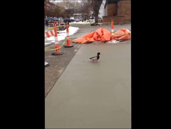 Утка прогулялась в свежеуложенному бетону