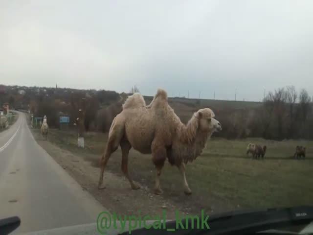Стадо верблюдов в Крымском районе Краснодарского края