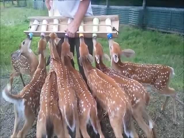 Как кормят оленят в зоопарке