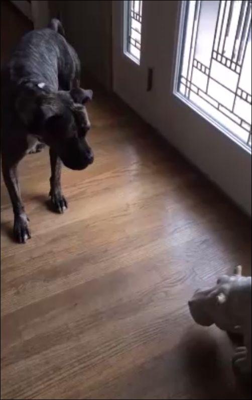 Пес очень боится игрушечного бегемота