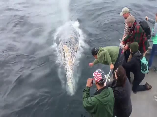 В Калифорнии дружелюбные киты подплыли вплотную к лодке с туристами
