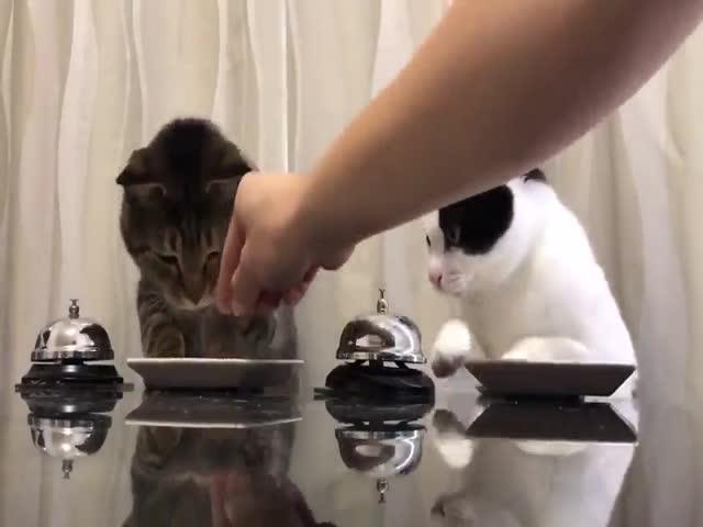 Коты просят еду с помощью звонка