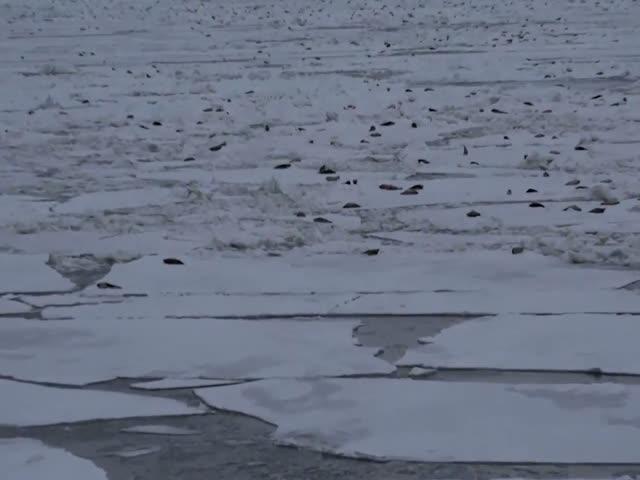 Тысячи тюленей возле нефтяной платформы в Печорском море
