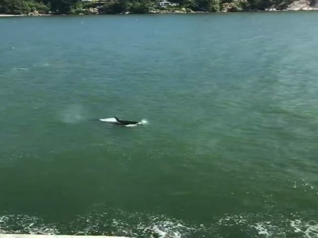 В Канаде пловцы встретили касаток и срочно выбрались на берег