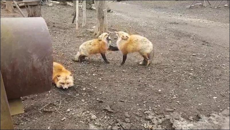 Две лисы усердно кричат друг на друга