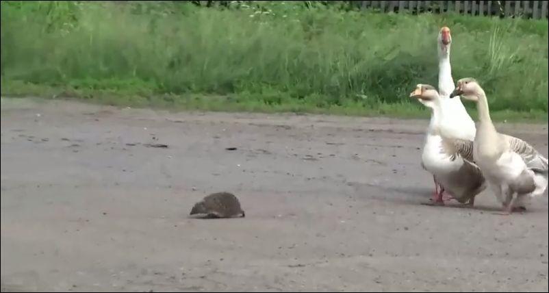 Гуси помогают ежу перебраться через дорогу