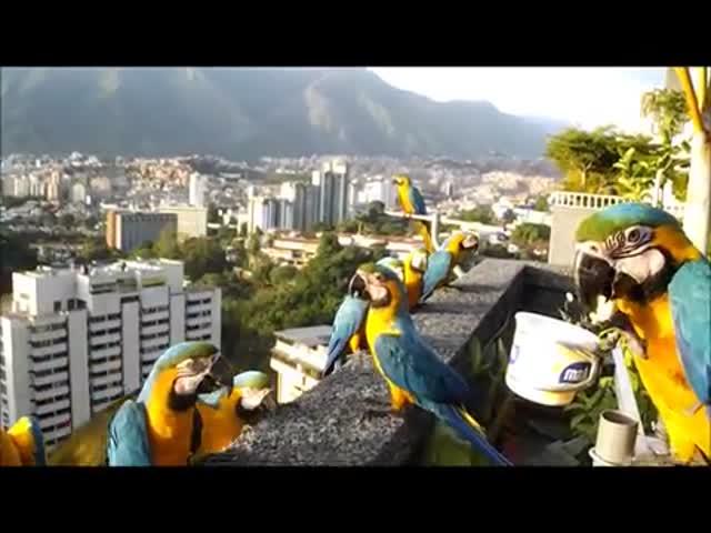 Кормление диких попугаев ара на балконе