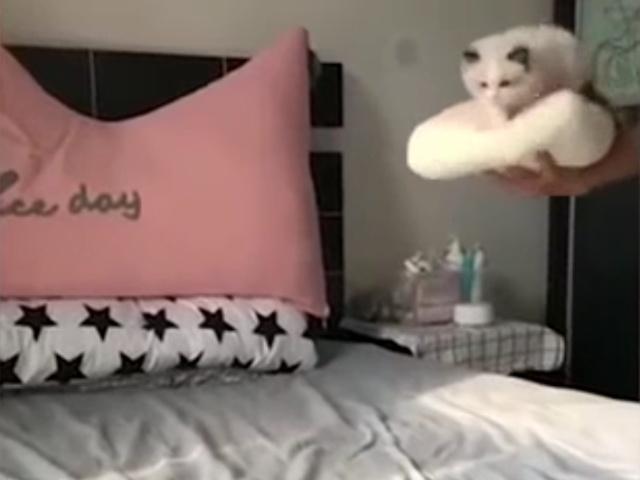 Не совсем удачное приземление пушистого котенка