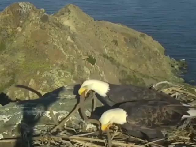 Пара белоголовых орланов строит гнездо
