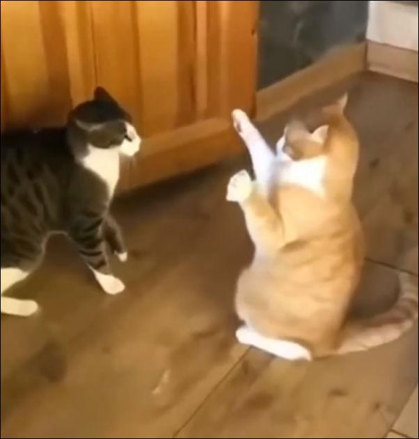 Кот победил своего соперника силой мысли