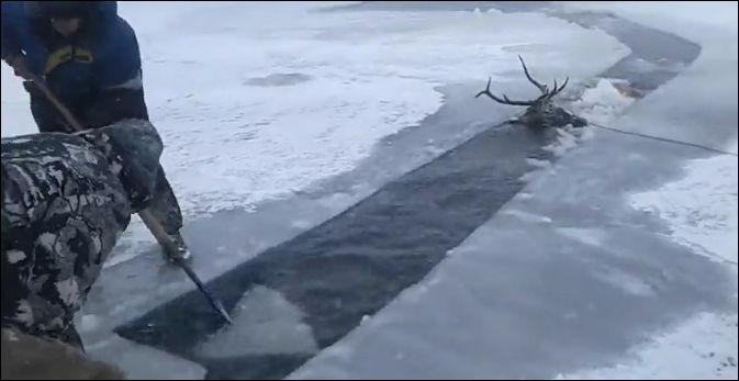 Спасение оленя, провалившегося под лед в холодную воду