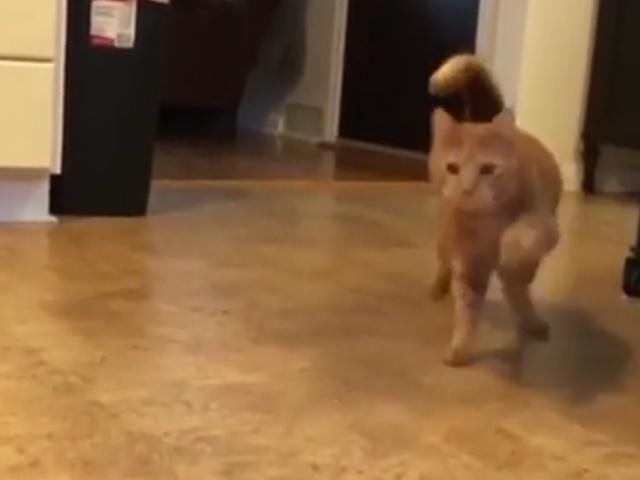Кот, отходящий от наркоза, ведет себя как пьяный