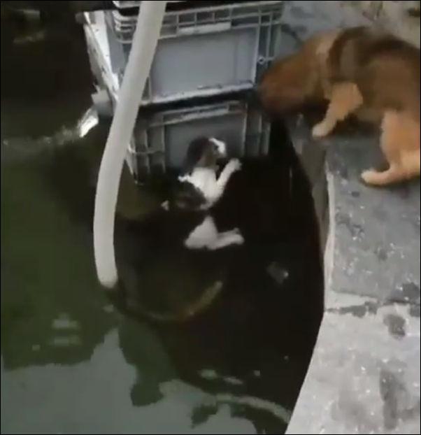 Пес решил вытащить из воды тонущую кошку
