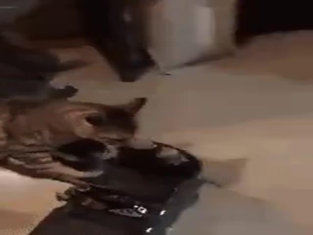 Кот, который научился кататься на гироскутере
