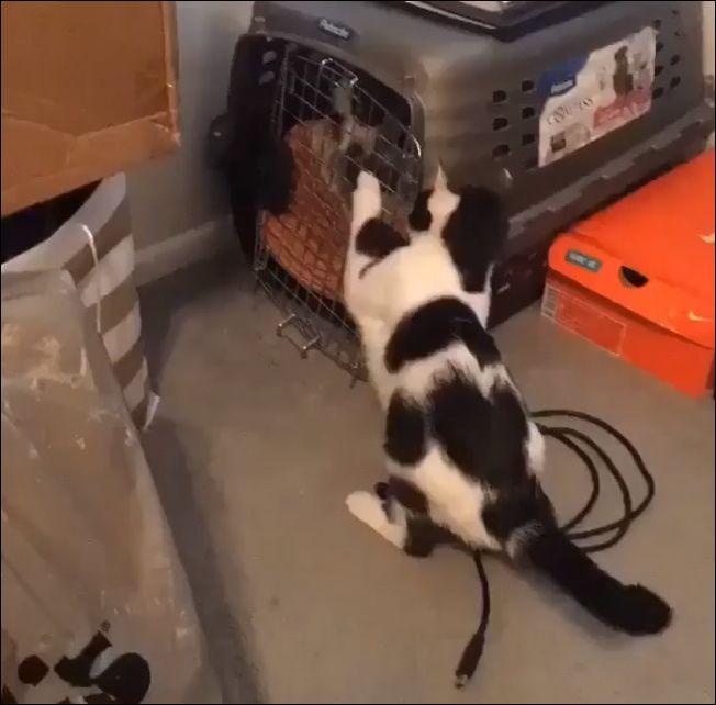 Кот спасает товарища из плена