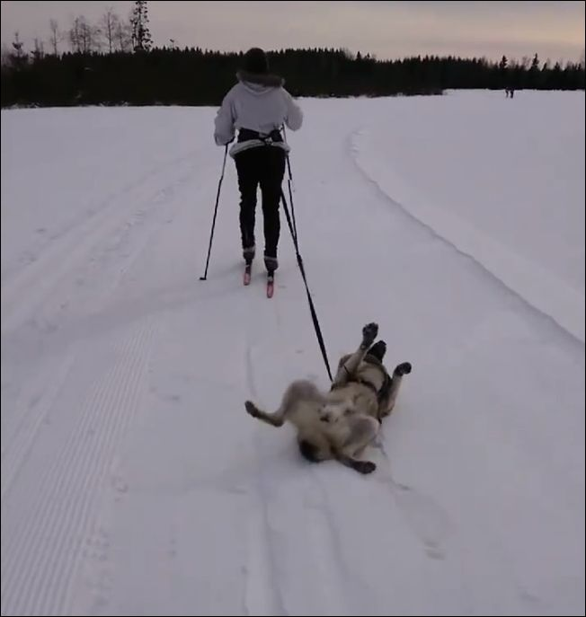 Пес, который не хотел идти на прогулку