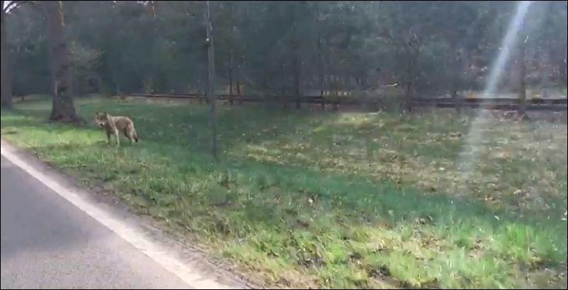 Неожиданная встреча с волком на обочине дороги