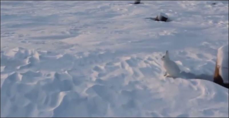 Заяц бежит на задних лапках
