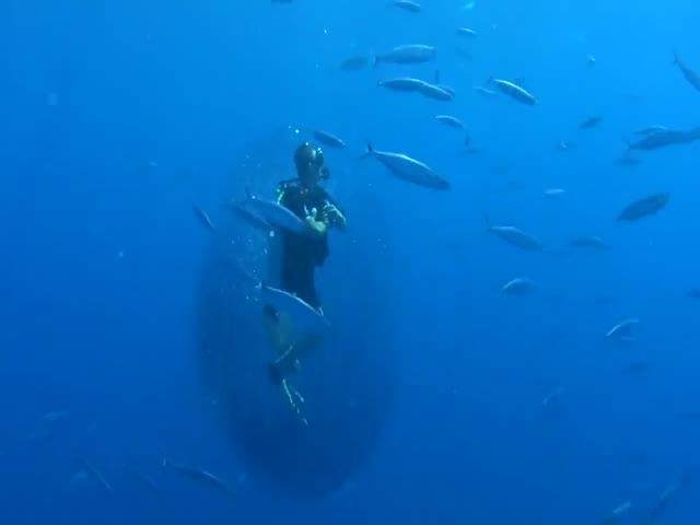 Стая маленьких рыбок окружила водолаза, спасаясь от китовой акулы