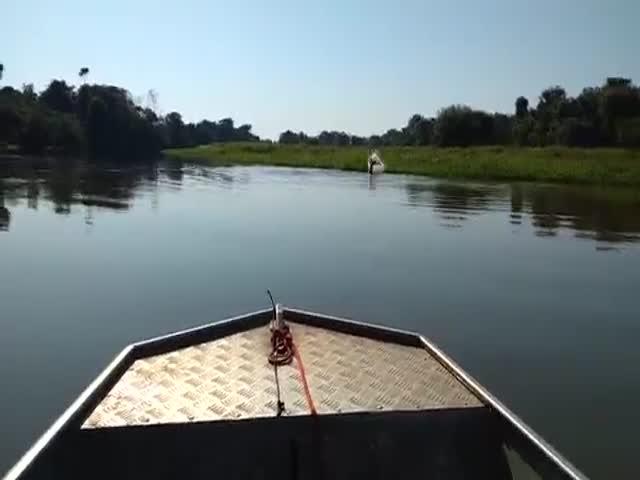 На реке Амазонка дельфины решили немного поиграть с электрическим угрем