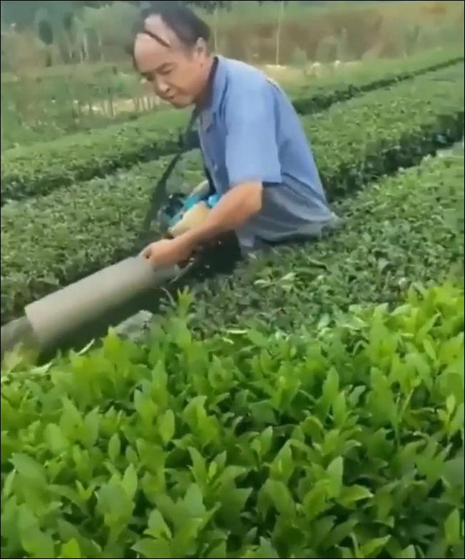 Как собирают чайные листья на плантациях
