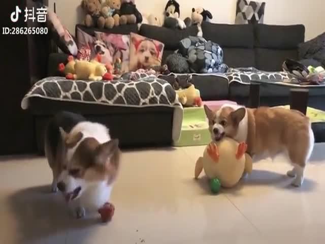 Как ругаются две собаки породы корги