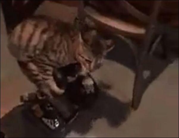 Кот катается на гироскутере