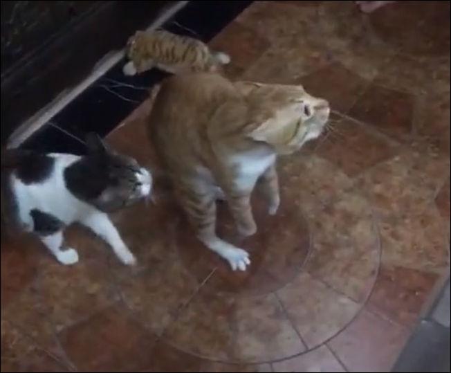 Кот не хочет знакомиться со своим сородичем