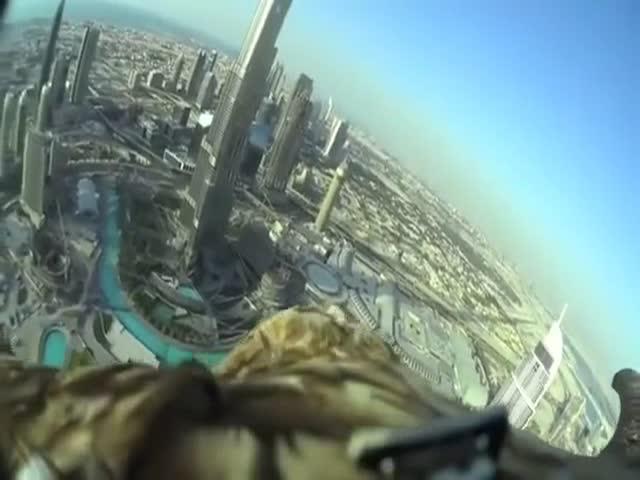 В Дубае орел спустился к своему хозяину с самого высокого здания в мире