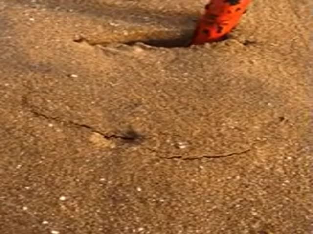 Краб зарывается в песке так, что его почти не заметно