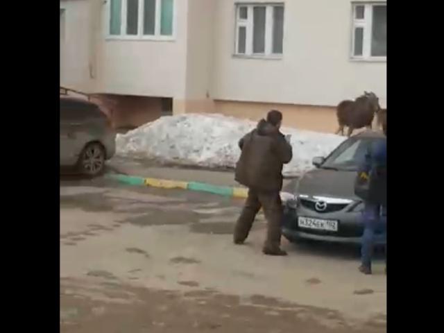 В Башкирии женщина отпугнула лося, запустив в него своего кота