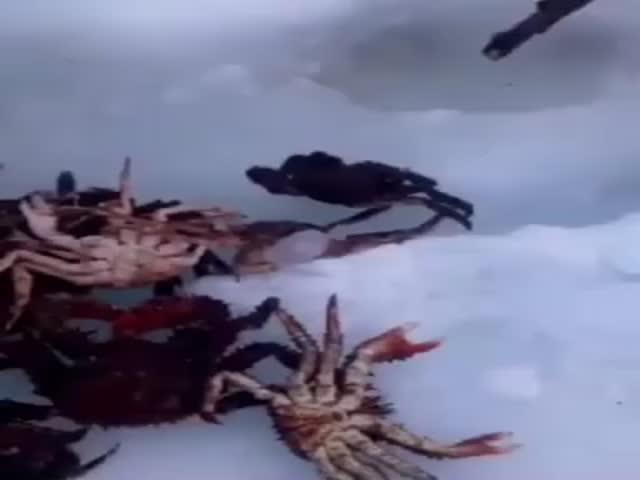 Как добывают краба в Охотском море зимой