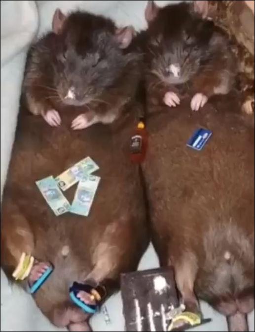Крысы,