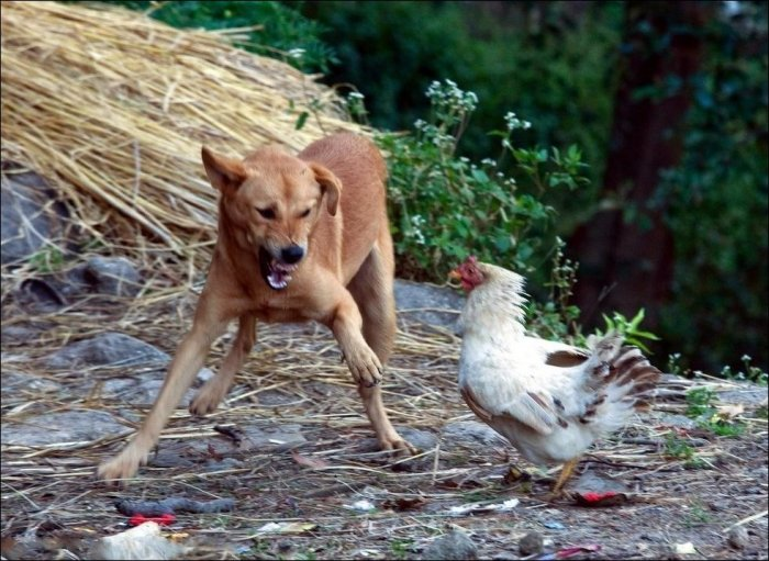 Курица против собаки (3 фото)
