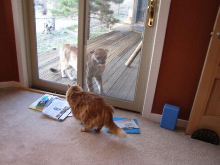 Кот и пума (15 фото)