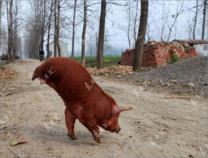 Поросенок ходит на двух ногах (12 фото)