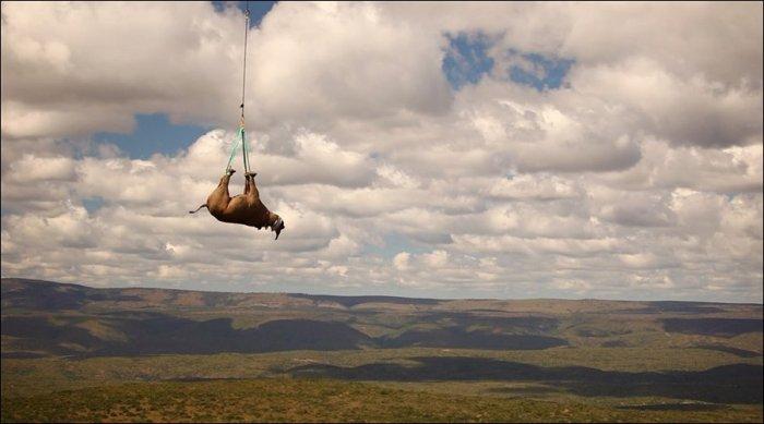 Перевозка носорога (4 фото)