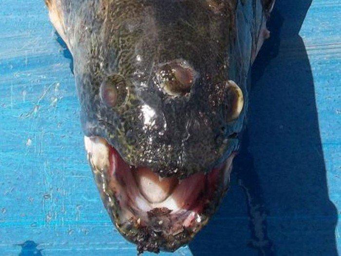 Трехглазая рыба (3 фото)