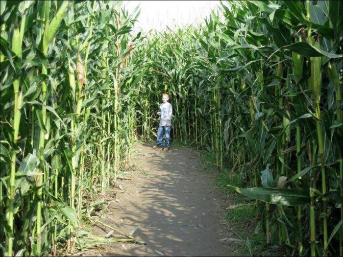 Лабиринт в кукурузном поле (5 фото)