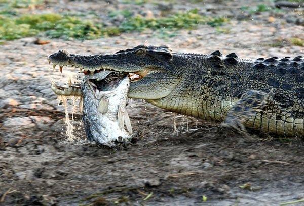 Крокодил атакует (36 фото)