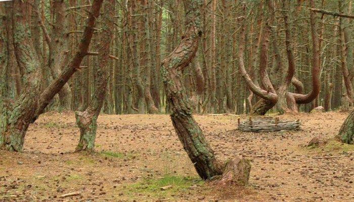 Танцующий лес (14 фото)