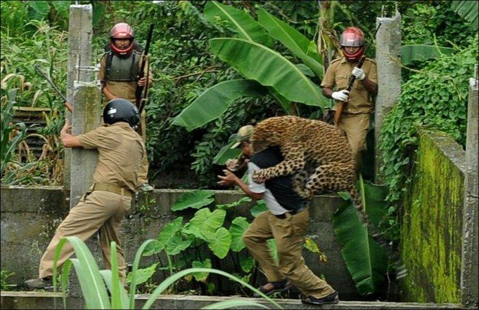 Поймай леопарда (7 фото)