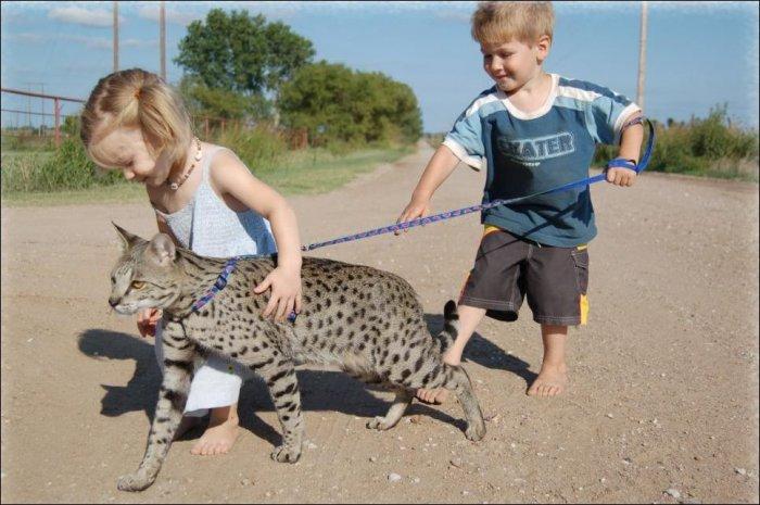 Самая большая кошка (11 фото)