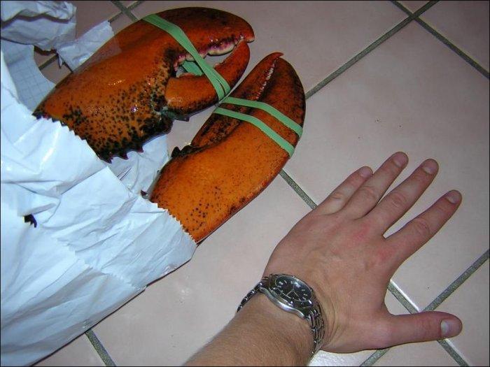 Огромный лобстер (2 фото)