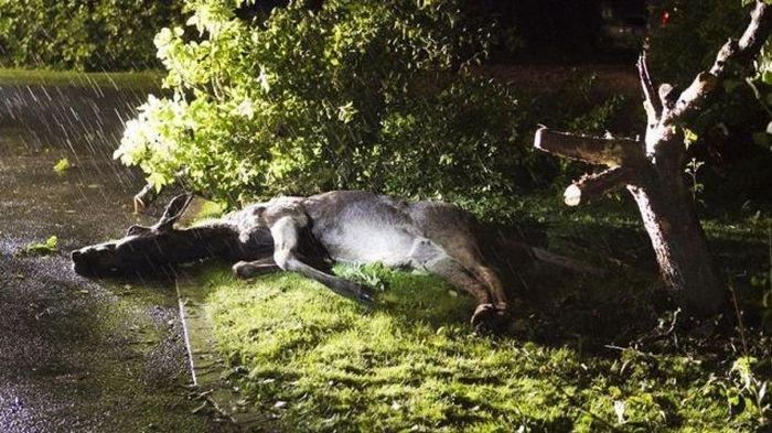 Пьяный лось (8 фото)