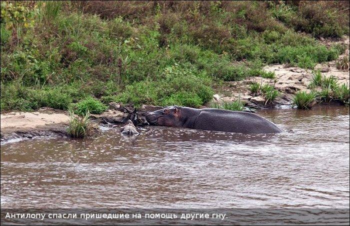 Спасение антилопы (11 фото)