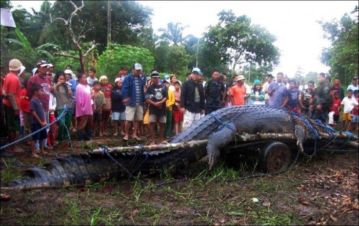 Огромный крокодил пойман на Филиппинах (4 фото + текст)