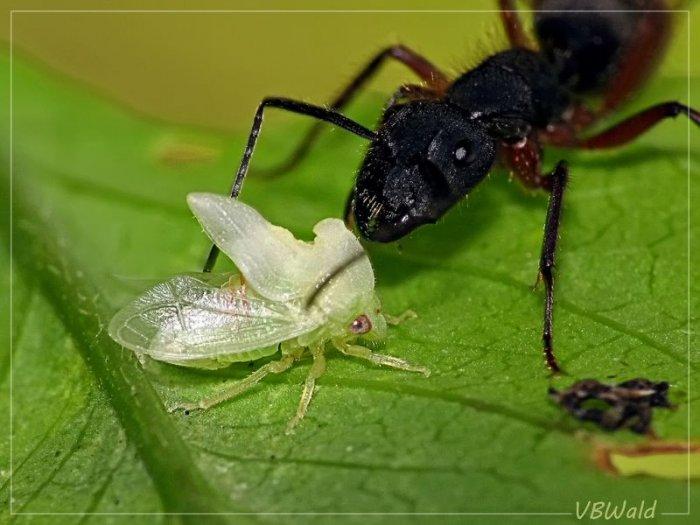Самое необычное насекомое в мире (20 фото)
