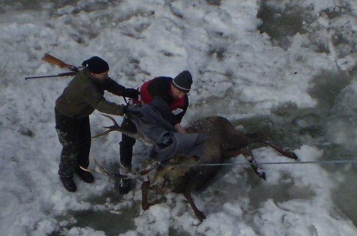 Спасение оленя (5 фото)