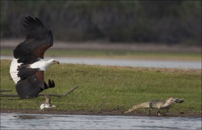 Последняя трапеза крокодила (4 фото)